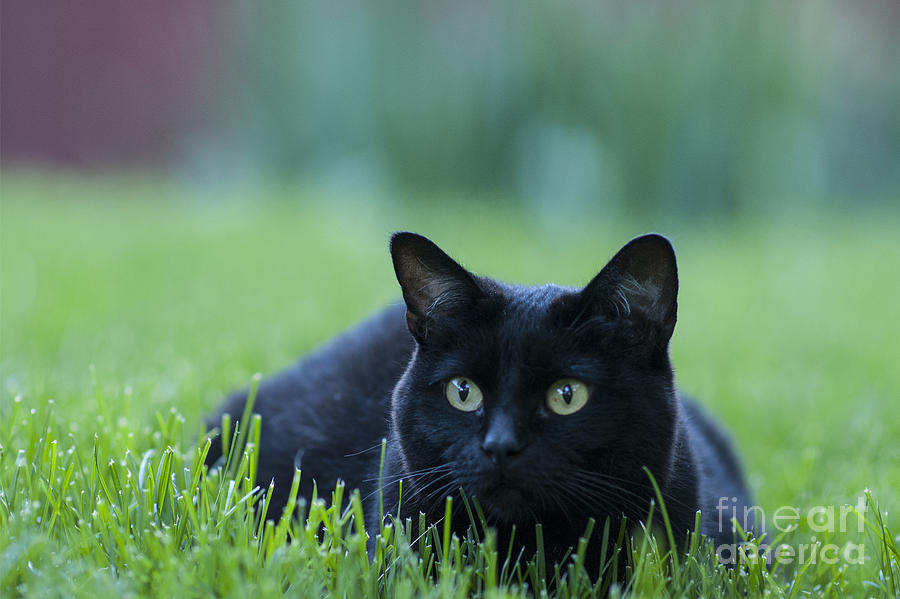 black-cat-juli-scalzi